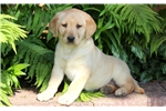 Picture of Star - Yellow Lab Female