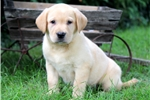 Picture of Tabby - Yellow Lab Female