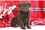 Picture of Darion - Chocolate Lab Male