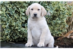 Picture of Domino - Yellow Lab Male