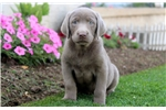 Picture of Sonny - Silver Lab Male