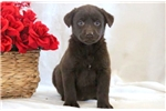 Picture of Dixie - Chocolate Lab Female
