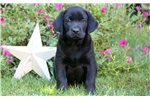 Picture of Alex - Black Lab Male