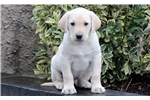 Picture of Devin - Yellow Lab Male