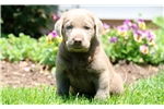 Picture of Happy - Silver Lab Male