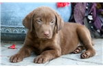 Picture of Diego - Chocolate Lab Male