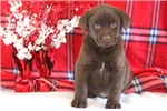 Picture of Dingo - Chocolate Lab Male