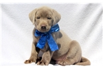 Picture of Gunner - Silver Lab Male