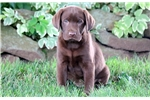 Picture of Sherlock - Chocolate Lab Male