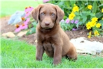 Picture of Hawk - Chocolate Lab Male