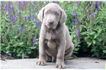 Picture of Thor - Silver Lab Male