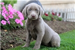 Picture of Stella - Silver Lab Female