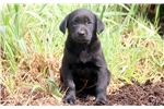 Picture of Samantha - Black Lab Female