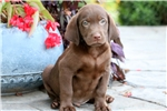 Picture of Dexter - Chocolate Lab Male