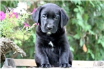 Picture of Turbo - Black Lab Male