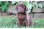 Picture of Slim - Chocolate Lab Male