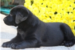Picture of Zeus - Black Lab Male