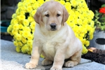 Picture of Zachary - Yellow Lab Male