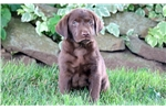 Picture of Scooby - Chocolate Lab Male