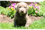 Picture of Hammer - Silver Lab Male