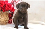 Picture of Dalilah - Chocolate Lab Female