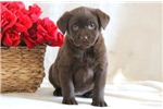 Picture of Daisy - Chocolate Lab Female