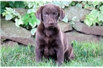 Picture of Skipper - Chocolate Lab Male