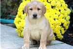 Picture of Zippo - Yellow Lab Male