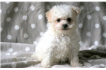 Picture of Bart - Maltese Male
