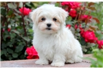 Picture of Chase - Maltese Male
