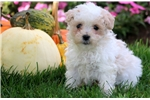 Picture of Abby - Maltipoo Female