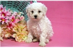Picture of Charity - Maltipoo Female