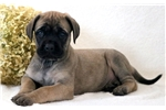 Mitts - English Mastiff Male | Puppy at 10 weeks of age for sale