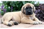 Picture of Hank - English Mastiff Male
