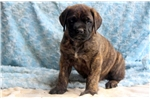 Dash - English Mastiff Male | Puppy at 12 weeks of age for sale