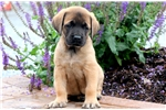 Picture of Harley - English Mastiff Male