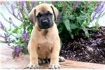 Picture of Hunter - English Mastiff Male