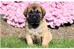 Picture of Taz - English Mastiff Male