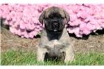 Picture of Teddy - English Mastiff Male
