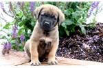 Picture of Hogan - English Mastiff Male