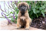 Picture of Hoops - English Mastiff Male
