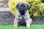 Picture of Marvin - English Mastiff Male
