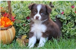 Picture of Cuddles - Mini Australian Shepherd Female