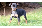 Picture of Abby - Min Pin Female