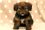 Picture of Lenny - Morkie Male