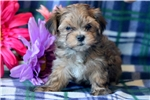 Picture of Carmel - Morkie Male