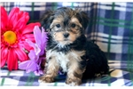 Picture of Cally - Morkie Female