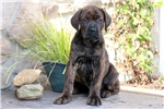 Dylan - Neapolitan Mastiff Male | Puppy at 10 weeks of age for sale