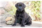 Duke - Neapolitan Mastiff Male | Puppy at 10 weeks of age for sale