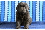 Picture of Barney - Newfoundland Male